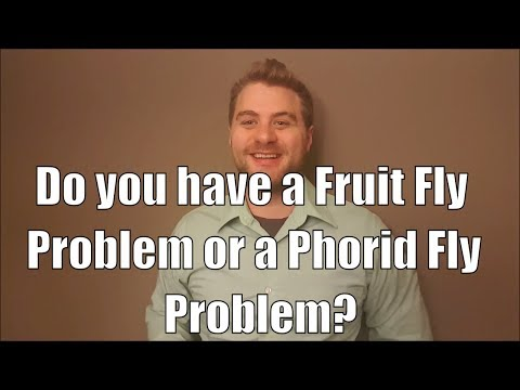 Do you have a Fruit Fly Problem or a Phorid Fly problem?