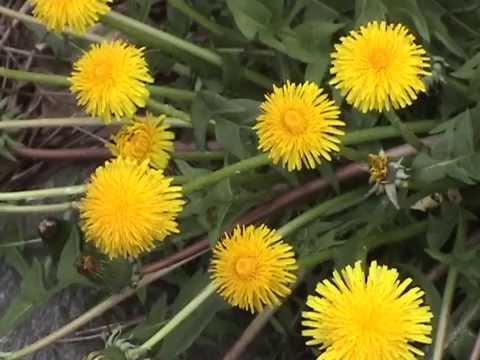 Edible Plants: Dandelion