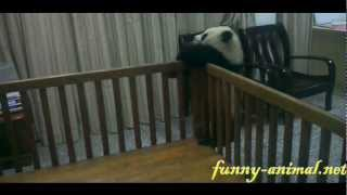 Panda baby escaping from the crib 熊猫宝宝越狱, 你要往哪逃啊?
