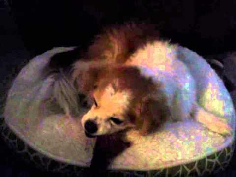 Sheri, canine heart murmur