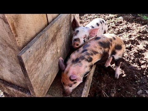 Never a Dull Moment On The Farm (Piglets Second Day Here)