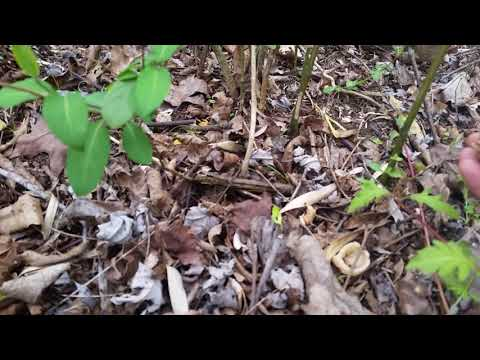 Finding MORELS and picking them. 2018