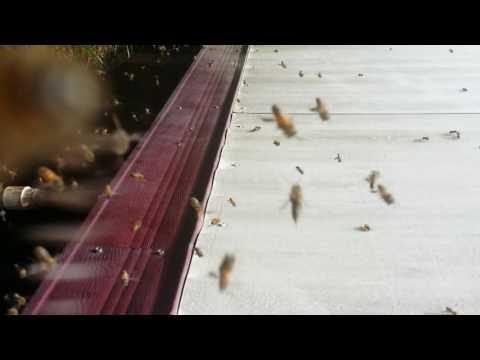GOTCHA PEST CONTROL KILLER BEES UNDER TRAILER EASTER WEEKEND 2017