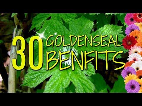Goldenseal Benefits | 30 Practical Uses & Benefits