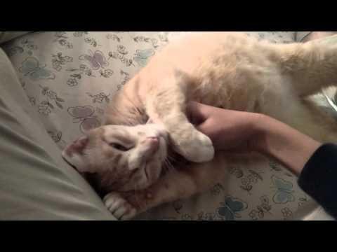 Pregnant cat loves belly rubs!
