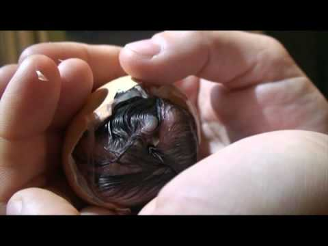 Helping hatch a baby chick