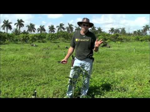 Mango Pruning-- Tipping