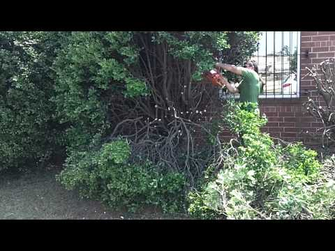 Cutting Giant Holly Bushes Down