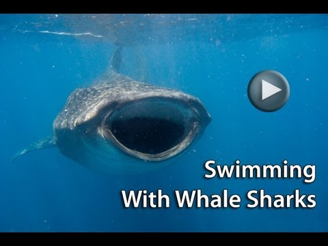 Travel 4 Wildlife: Swimming With Whale Sharks in Isla Holbox, Mexico