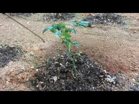 TOMATO BLIGHT - HOW TO CONTROL