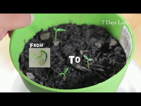 How to Plant Sprouted Seed From Storage Bag Ep  4