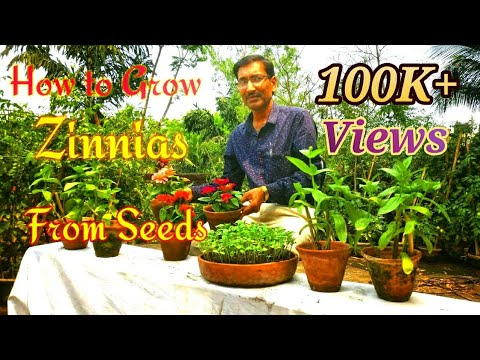 ZINNIA the Best Flower to Grow in Summer Months // Growing Zinnia from Seeds.