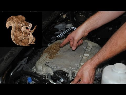 Squirrels Eating Car Engines (Rodents Rats Chewing on Auto Parts Wires Damage Hoses Honda Toyota Kia