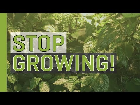 Stop Growing (Start Budding and Flowering!)