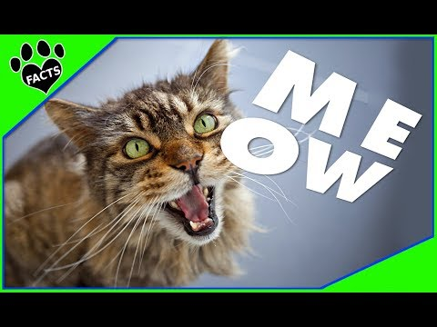 Why Does My Cat MEOW So Much? - Animal Facts