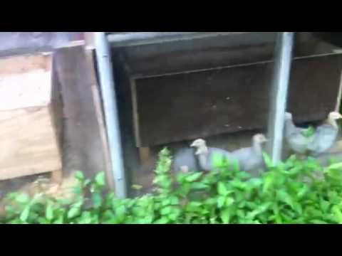Blue slate turkey poults in greenhouse brooder