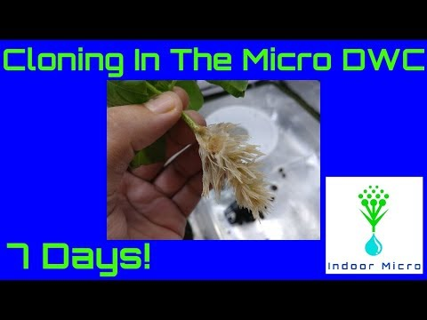 Indoor Micro How to Clone in the Micro DWC Hydroponic System