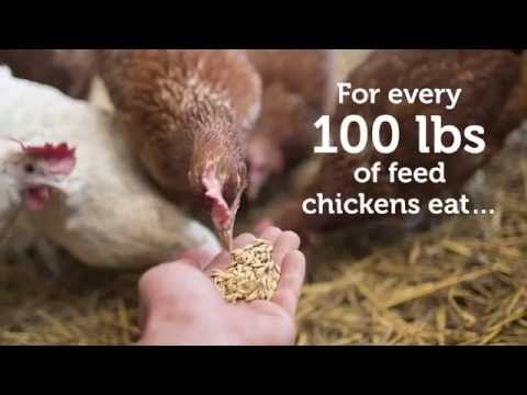 How Much do Chickens Poop?