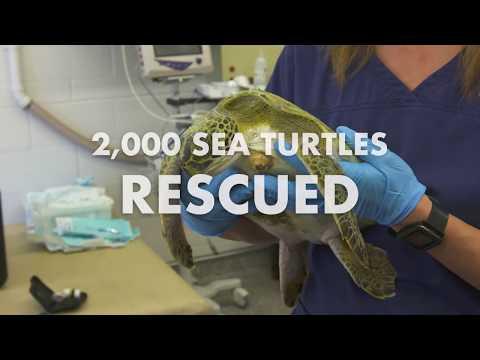 2,000 Sea Turtles Rescued at SeaWorld Orlando
