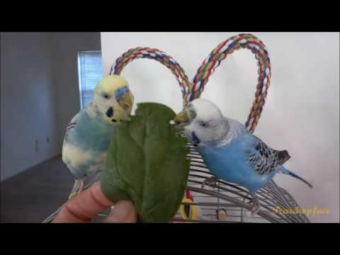 How I got my birds to eat the most veggies they can