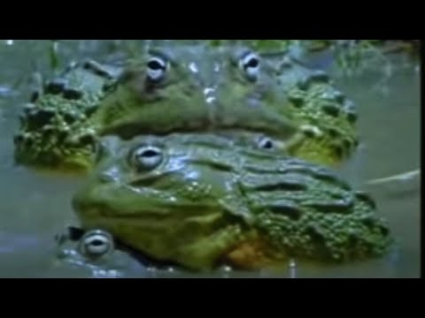 Wonders of the African Bull Frog - Battle of the Animal Sexes - BBC Wildlife