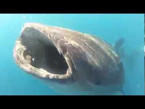 Whale Shark Isla Holbox Mexico 2013 -  little attack