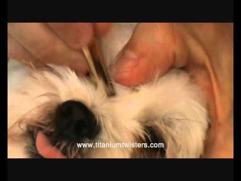 PARALYSIS TICK removal DANGEROUS DOG TICK bella