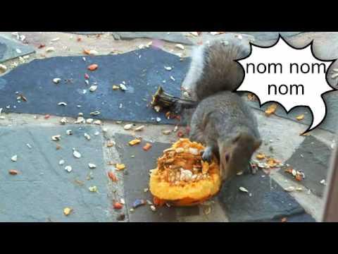 Squirrel eats our pumpkin