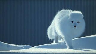 How to Survive as a Tiny Arctic Fox - Wild Alaska - BBC