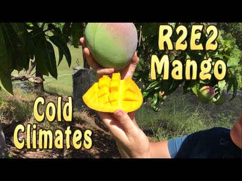 R2E2 Mango Tree in Australia is great for cold climates Seedling vs Grafted