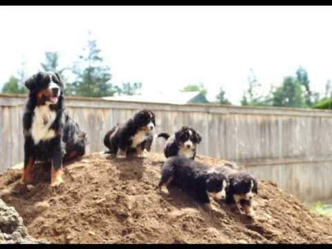 bernese mountain dog cute puppy slideshow
