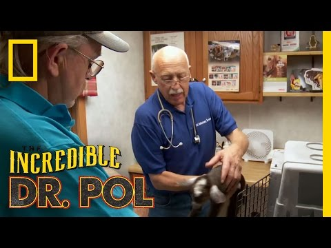 Parasitic Baby Goat | The Incredible Dr. Pol