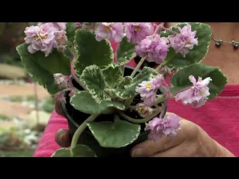 How to Trim Dead Blossoms From an African Violet : Gardening & Flowers