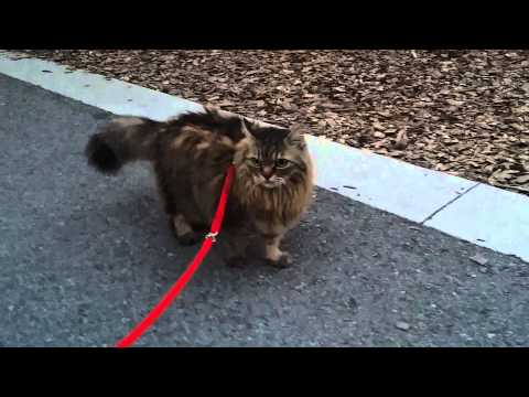 How to make kitty walk on leash n follow commands