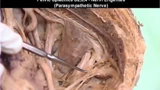 Pelvis & Perineum   3 or 3   Nerves of Pelvis & Perineum