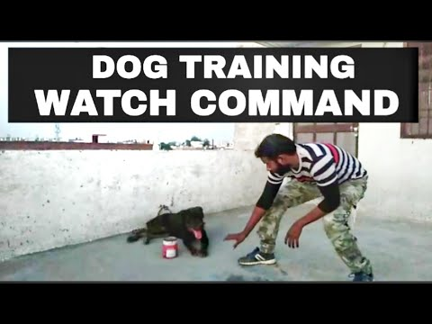 How To Teach Your Dog Watch Command !!    dog training in hindi  