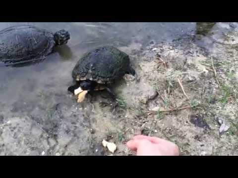 Hand Feeding Wild Pond Turtles