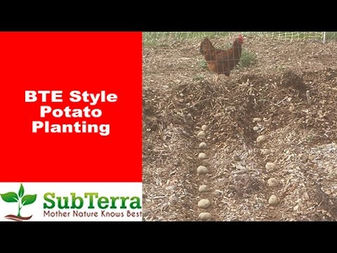 Planting Potatoes the Back to Eden (BTE) Way