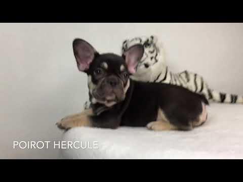 Spolbo French bulldogs- chocolate tan boy