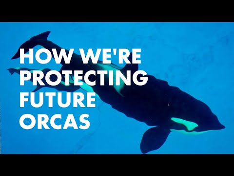 Researching Pregnant Orcas To Help Whales In The Wild   SeaWorld®    SeaWorld®