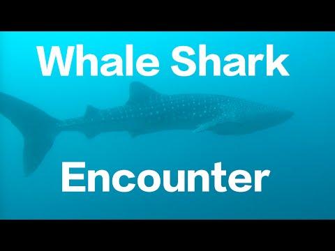 Whale Shark Encounter Puerto Galera: Verde Island Passage