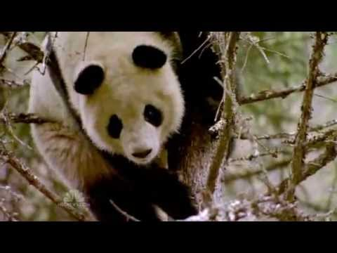 Should We Save Endangered Pandas?