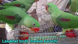 raw parrot babies for sale in pakistan Videos - 9tube tv