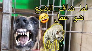 شاهد بالفيديو كلب المالينوا يهاجم كل شيء ولما شاف الضبع عمل نفسه مش شايف مع جمال العمواسي