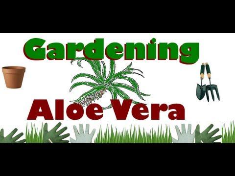 Aloe Vera Plant Care Tips- House Plant / Garden - Light, Water, Pots, Harvesting the gel & More