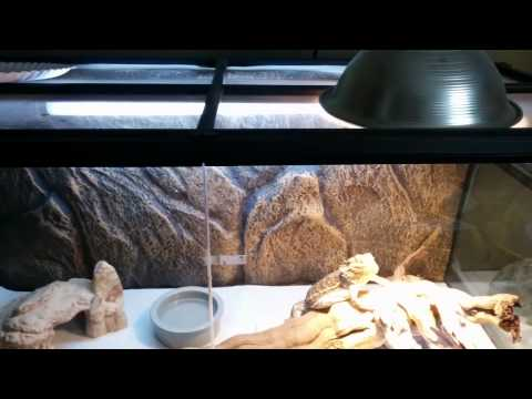 Bearded Dragon Setup and Overview