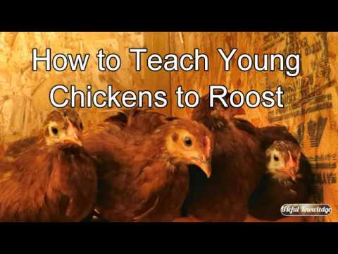 How to Train Young Chickens to Roost | Useful Knowledge
