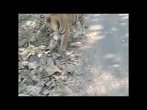 Awesome experience to Saw Royal Bengal tiger (wildlife india )