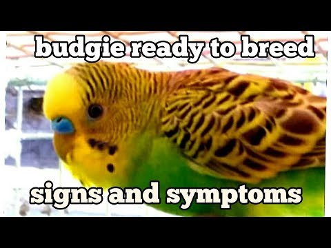 Budgie breeding signs and symptoms(/in Hindi/Urdu and English)