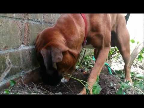 Eddie digging up bramble root